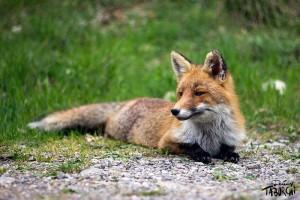 Le renard de Moulinet