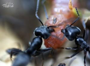 Macro de fourmis © Jérémy Taburchi