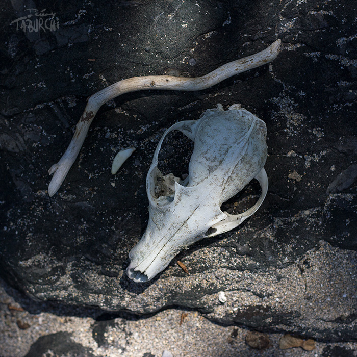 Crâne de Renard © Jérémy Taburchi