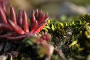 Un plante grasse rampante aux côtés d'un brin de mousse